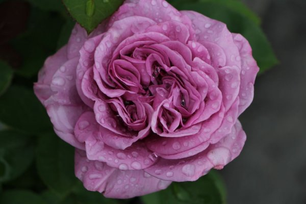 Rose 'Lavender Ice'