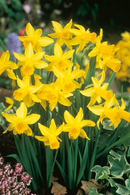 Narcissus cyclamineus 'February Gold'