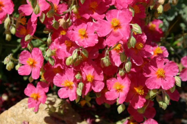 Helianthemum 'Rosa Königin'
