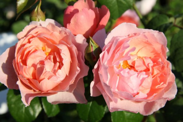 Rose 'Strawberry Hill'