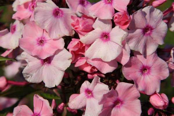 Phlox paniculata 'Sweet Summer Fragrance'