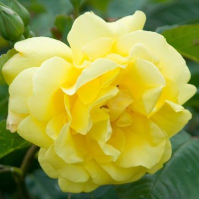 Rose 'Golden Gate'