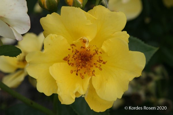 Rose 'Lemon Fizz' ®