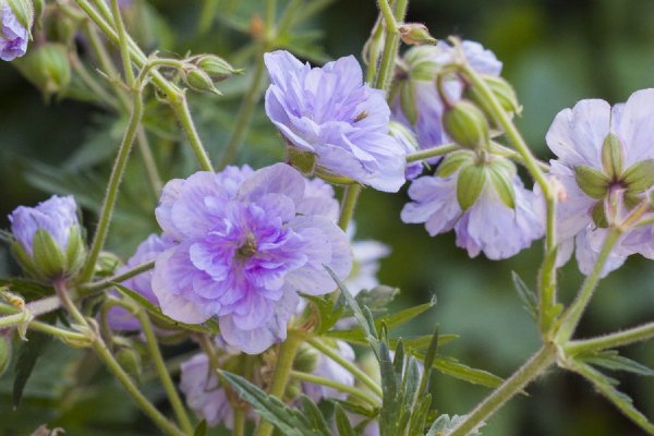 Geranium pratense 'Cloud Nine' ®