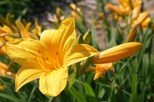 Hemerocallis 'Maikönigin'