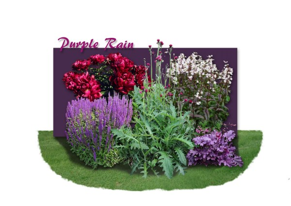 Distel-Paket 'Purple Rain'
