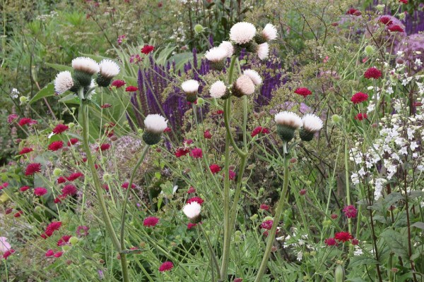 Cirsium rivulare 'Frosted Magic' ®