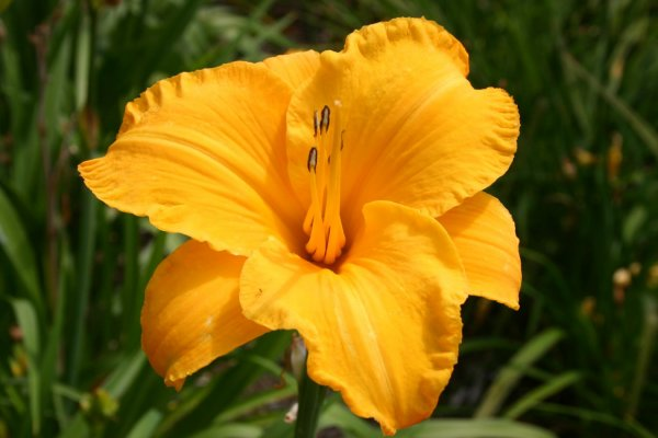 Hemerocallis 'By Myself'
