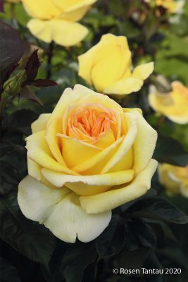 Rose 'Golden Tower' ®