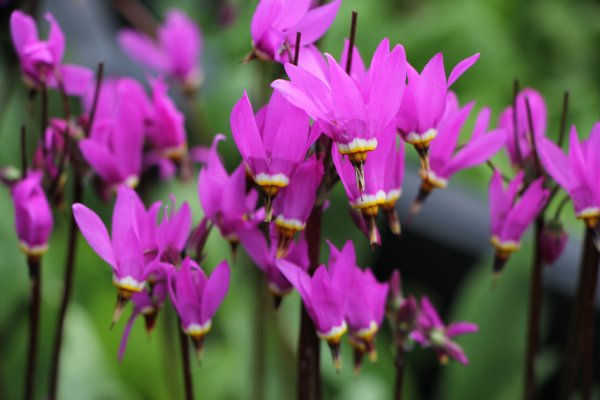 Dodecatheon meadia 'Red Wings'