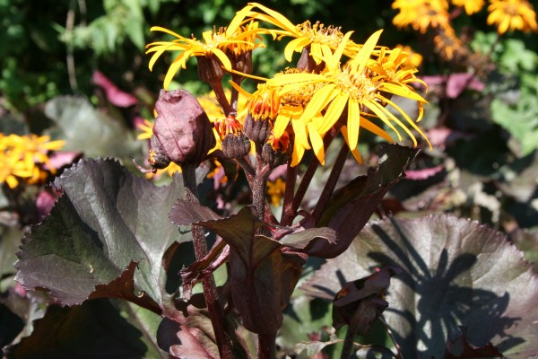 Ligularia dentata 'Britt-Marie Crawford' ®