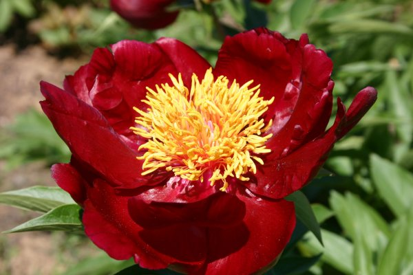 Paeonia lactiflora 'Arrow Maker'