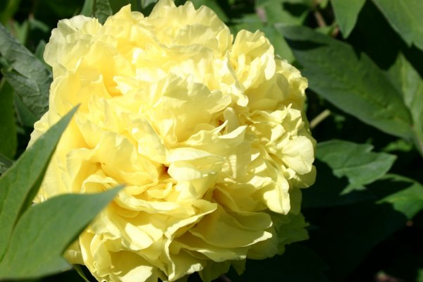 Paeonia Itoh-Hybride 'Yellow Crown'