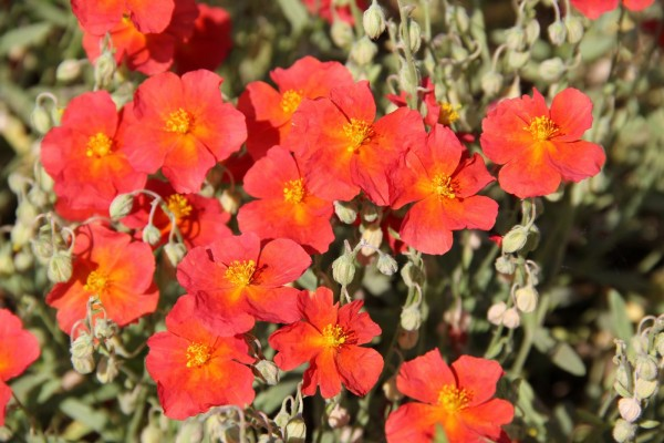 Helianthemum 'Orange Queen'