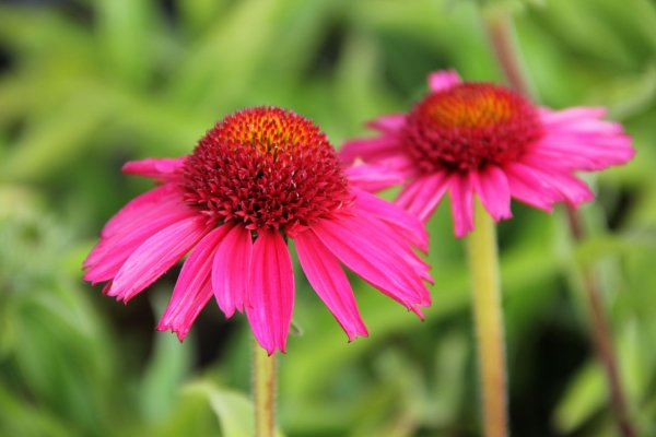 Echinacea 'Delicious Candy' ®