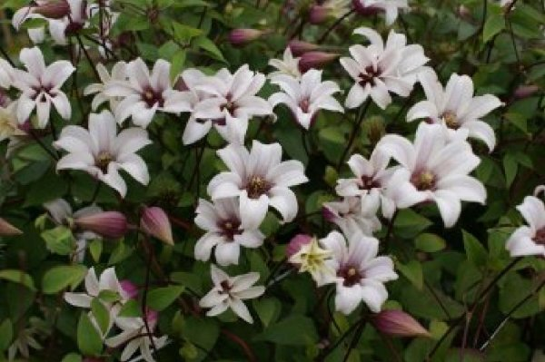Clematis 'Princess Kate' ®