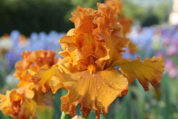 Iris Barbata-Elatior 'Golden Panther'