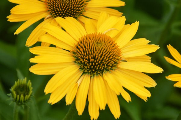 Echinacea 'Yellow Passion'