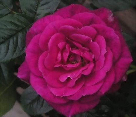 Rose 'Gloriana'