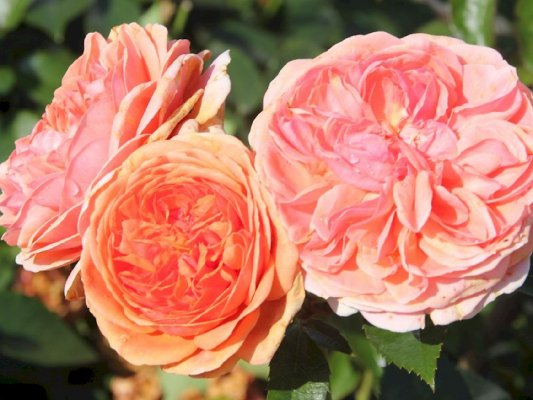 Rose 'Chippendale'