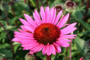 Echinacea 'Fatal Attraction' ® P 1