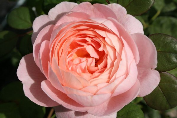 Rose 'Queen of Sweden'