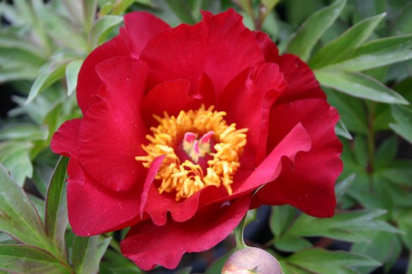 Paeonia Itoh-Hybride 'Scarlet Heaven'