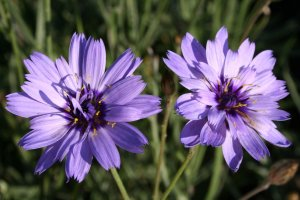 Catananche caerulea P 0,5