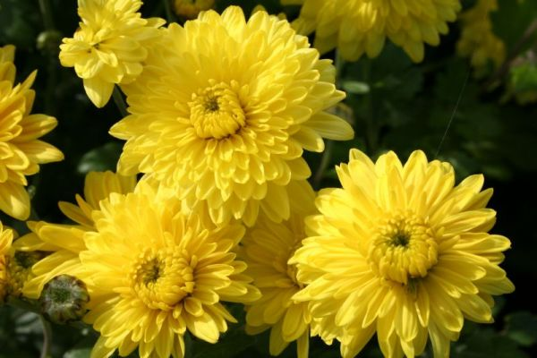 <b>Chrysanthemum</b><br><i>Chrysanthemen (Winterastern)</i>