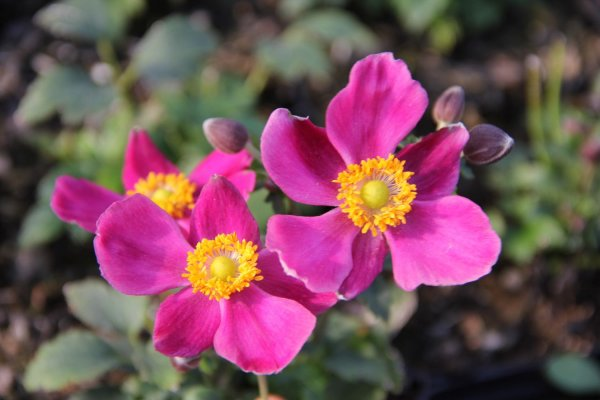 Anemone 'Fantasy Red Riding Hood'