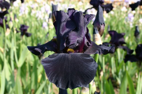 Iris Barbata-Elatior 'Old Black Magic'