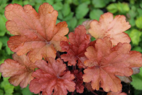 Heuchera 'Peach Flambé' ®
